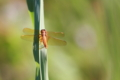 猩々蜻蛉(未成熟♂)