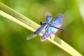 蝶蜻蛉(♂)
