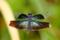 蝶蜻蛉(♀)