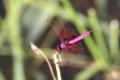 紅蜻蛉(成熟♂)