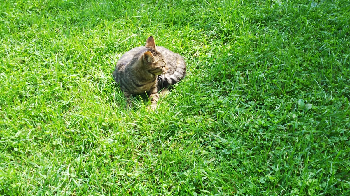 猫 キジトラ トゥフィン