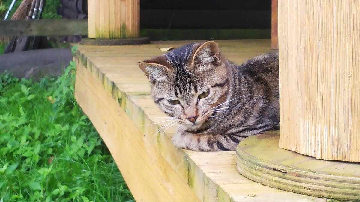 猫 キジトラ アイドル猫