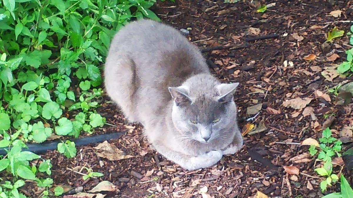 猫 灰柄 香箱座り