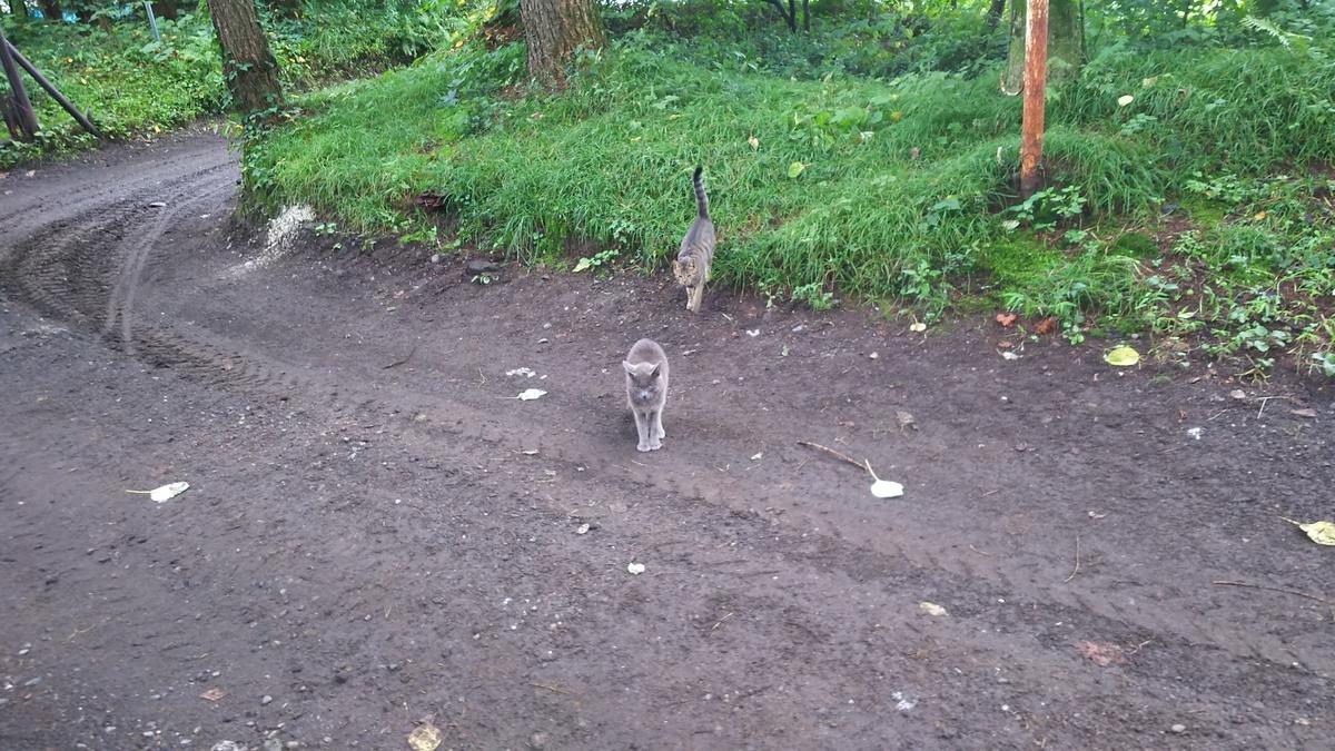 猫 灰柄 キジトラ