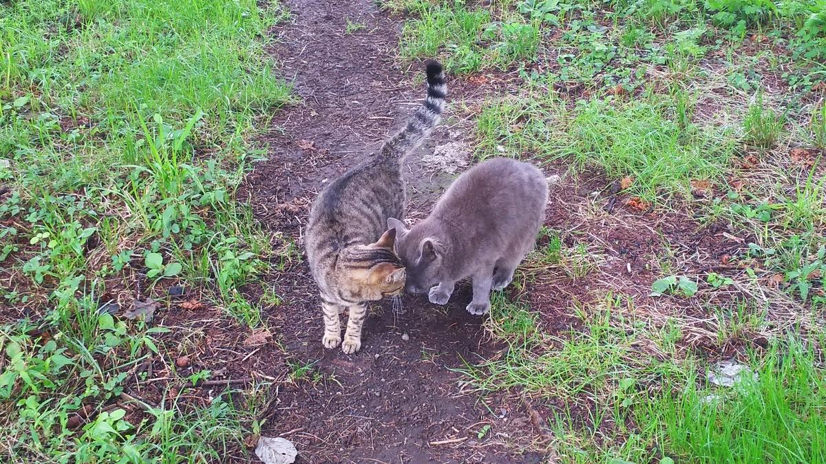 猫 仲良し キジトラ 灰柄
