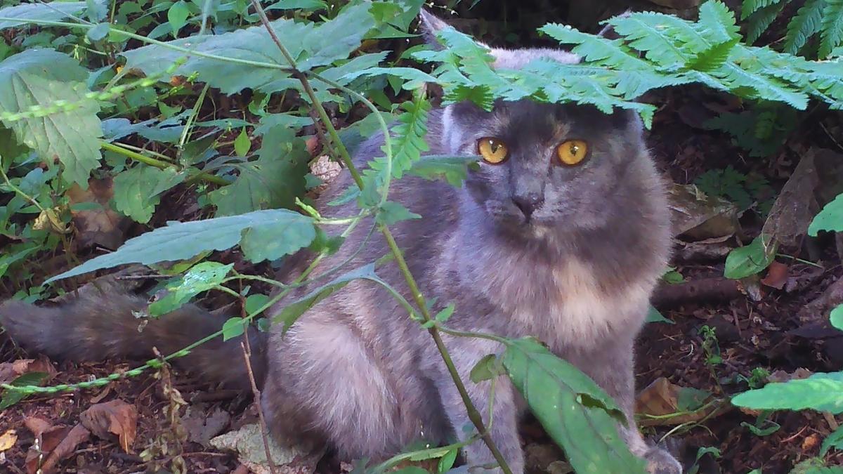 灰サビ猫 なるみ