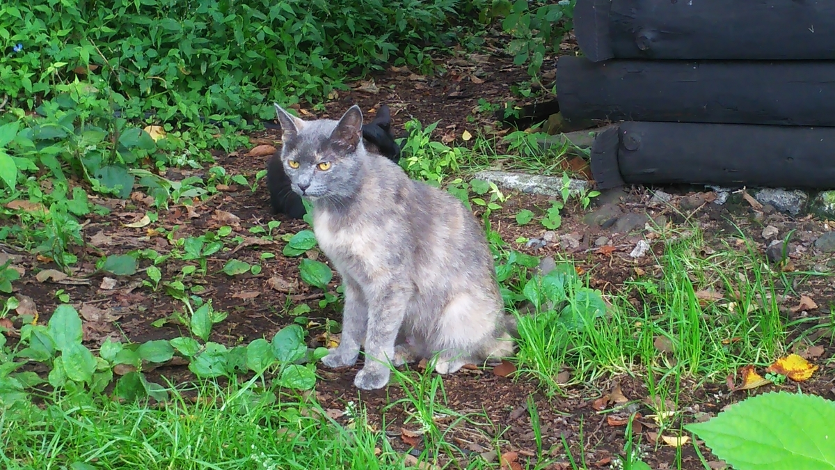 灰サビ猫 良猫