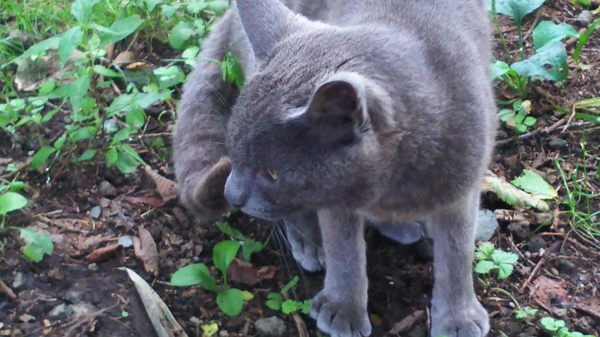 灰柄猫 オス