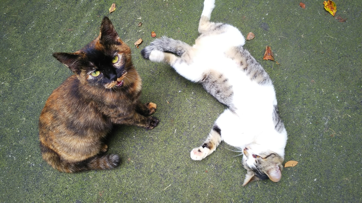 猫 かわいい サビ キジ白