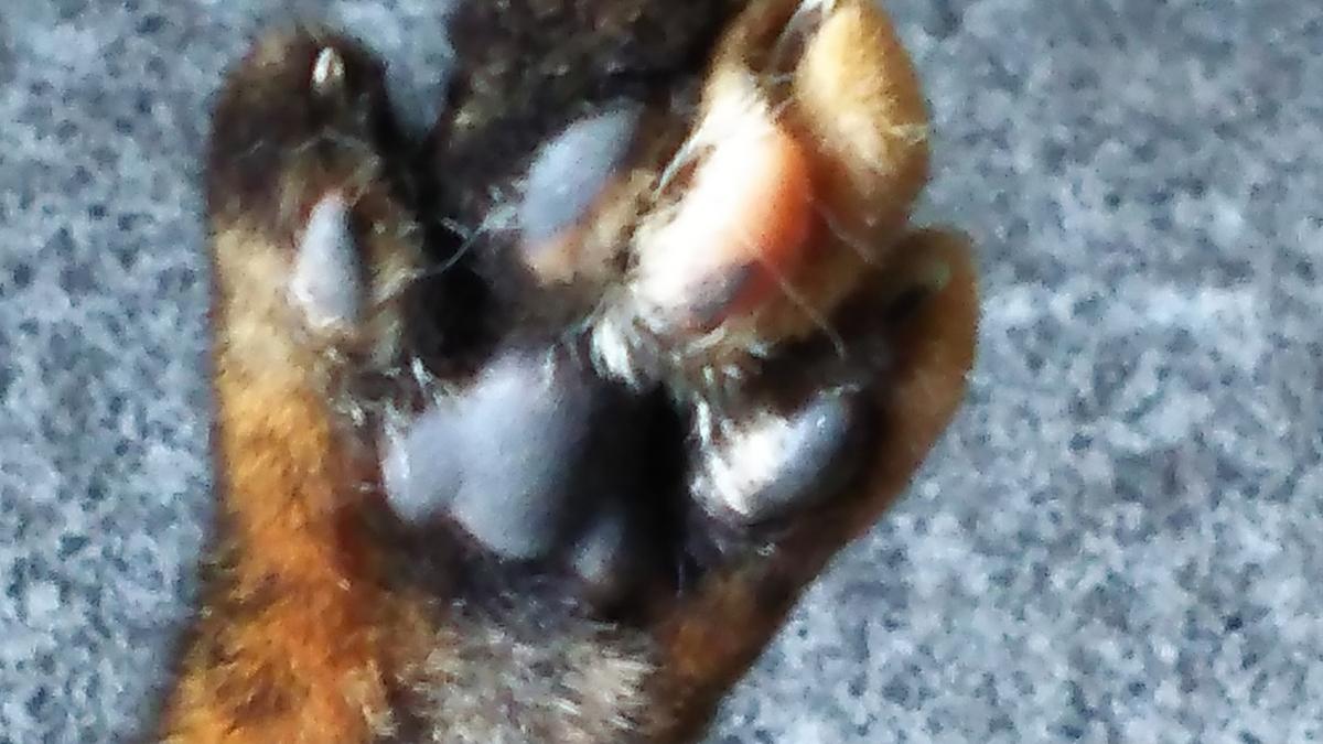 猫 肉球 サビ