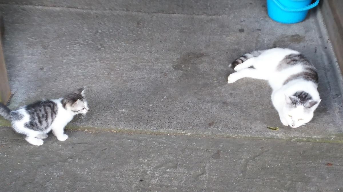 猫 子猫 サバ白