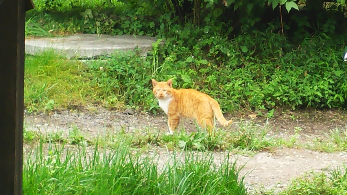 猫 茶白 ボス猫