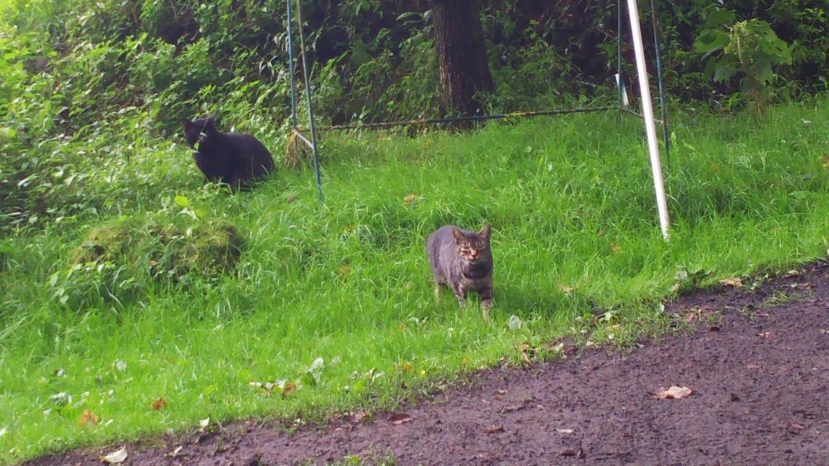 黒猫 キジトラ