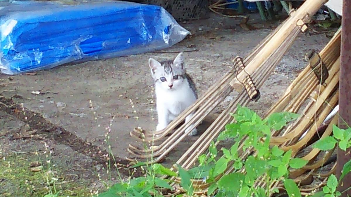 子猫 サバ白 メス