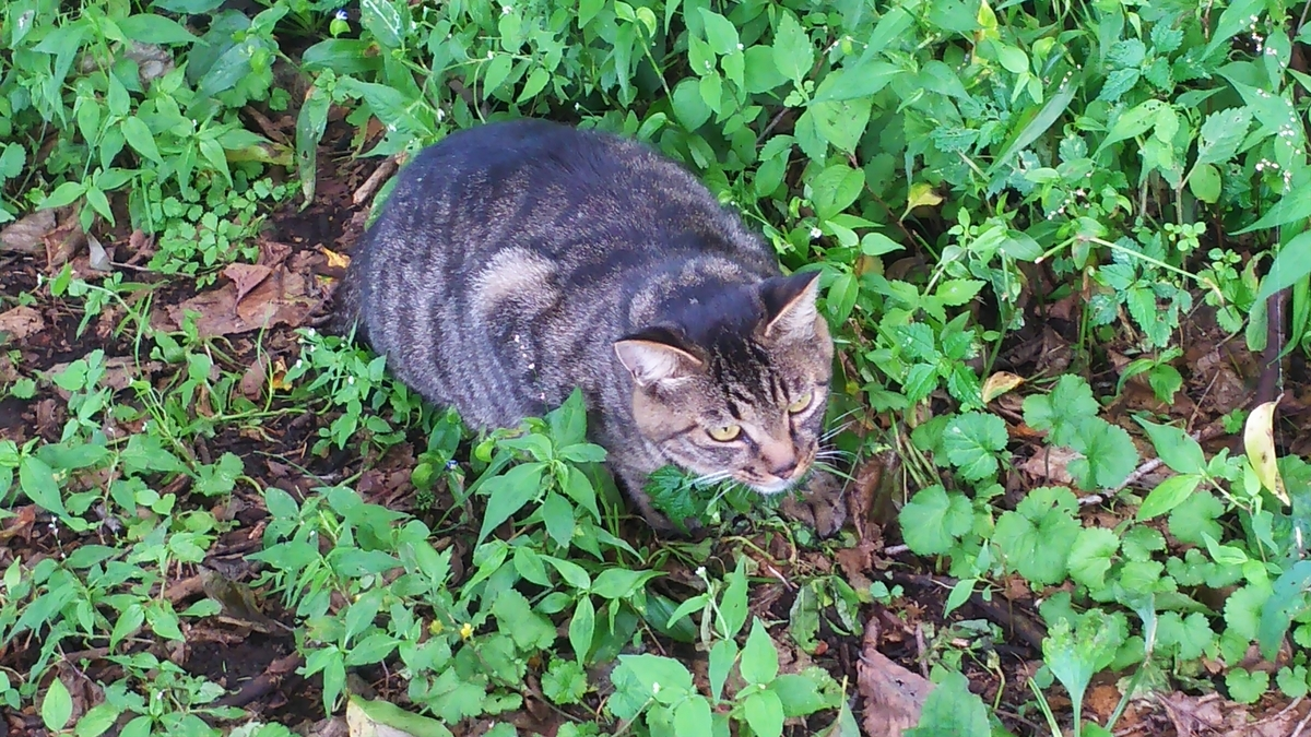 猫 キジトラ おにぎり 凶暴