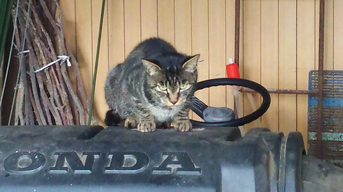 猫 キジトラ