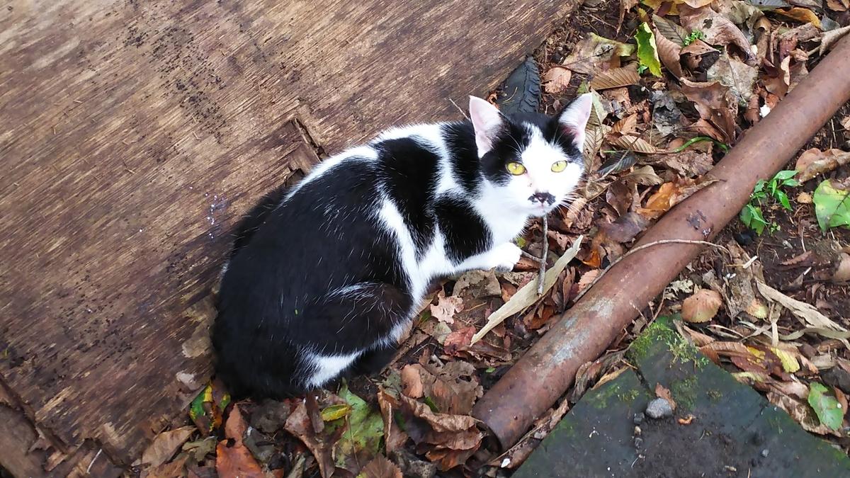ハンニャ 白黒猫