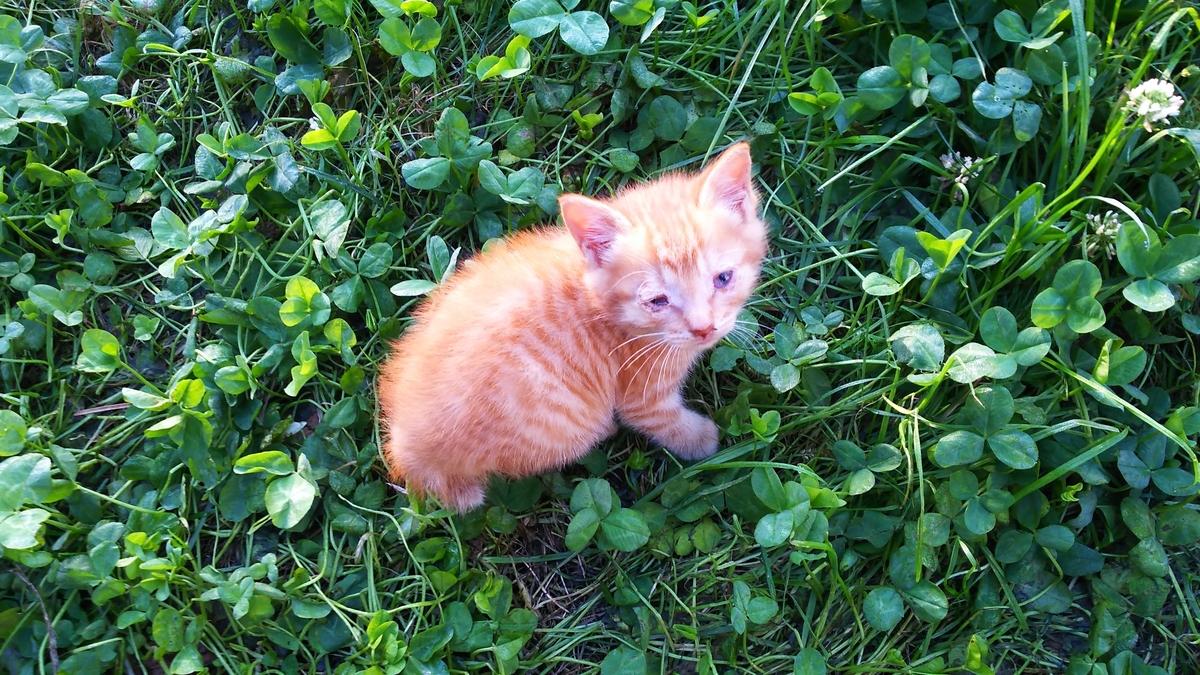 茶トラ 子猫 オレンジ毛玉