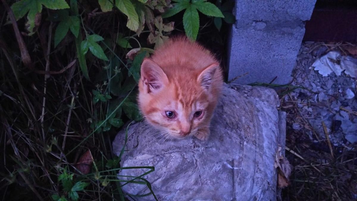 茶トラ 子猫 かわいい