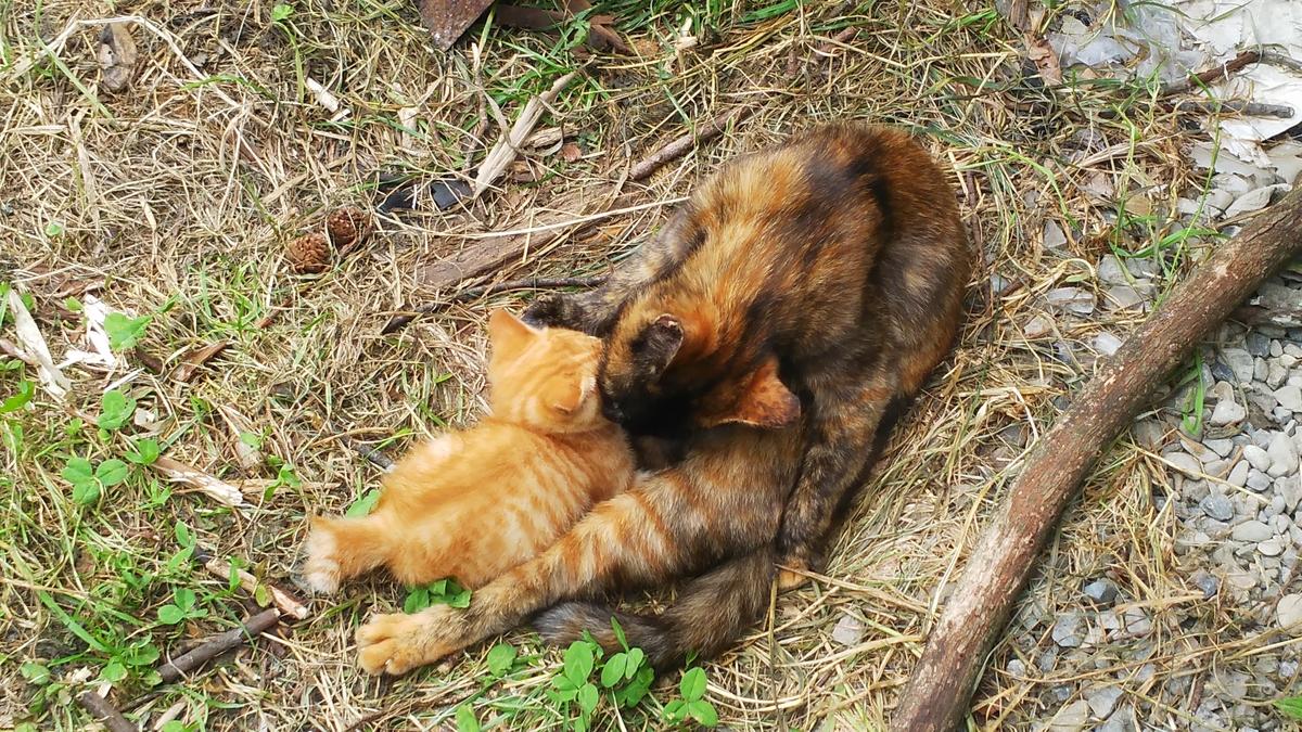 サビ猫 子育て