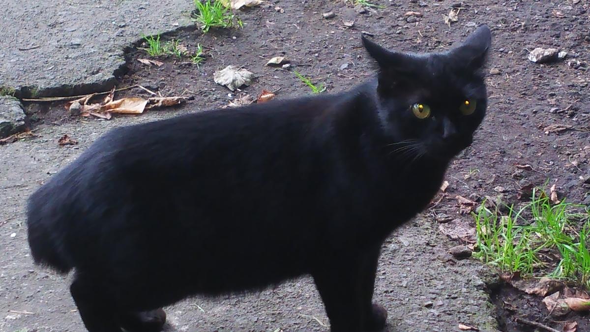 鍵しっぽ ボブテイル 黒猫