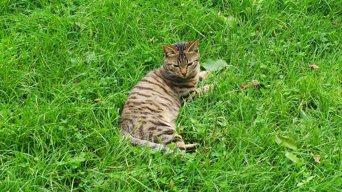 キジトラ アイドル猫 かわいい