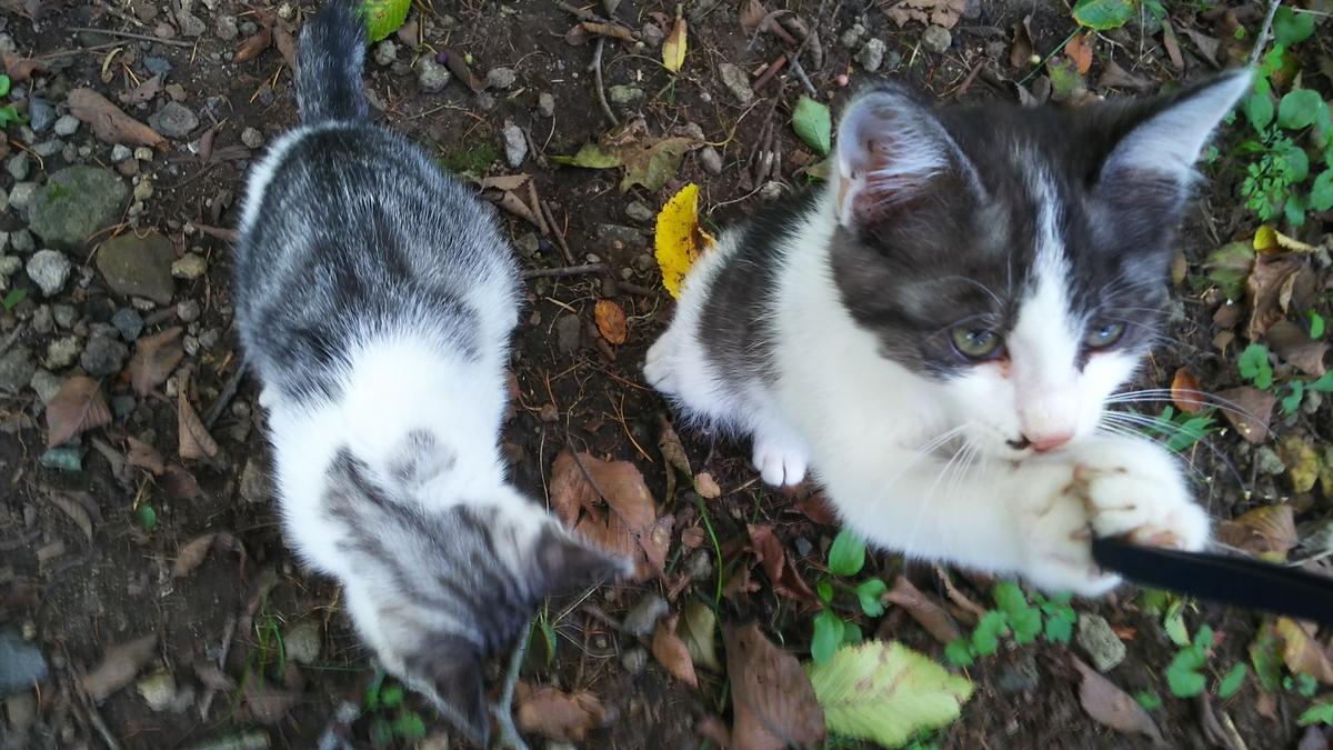 子猫 写真 サバ白