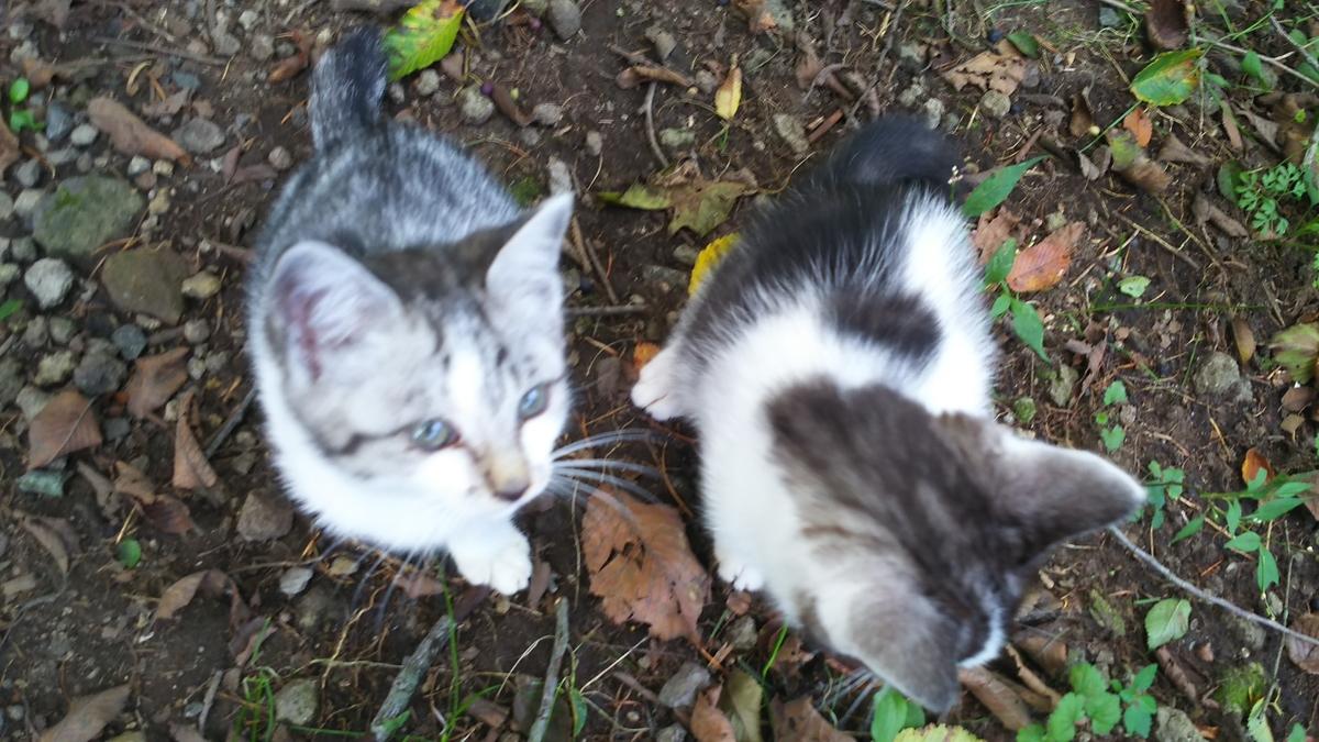 子猫 白サバ 野良