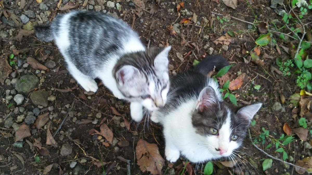 子猫 写真 白サバ