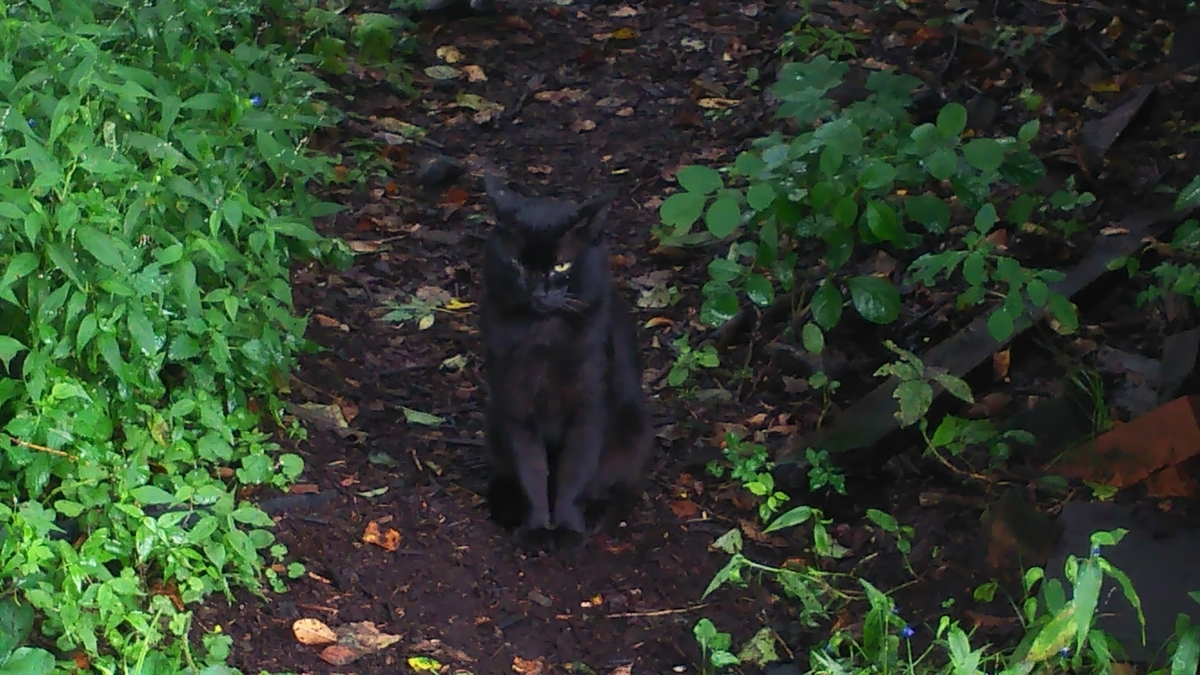 猫 ボス猫 黒猫