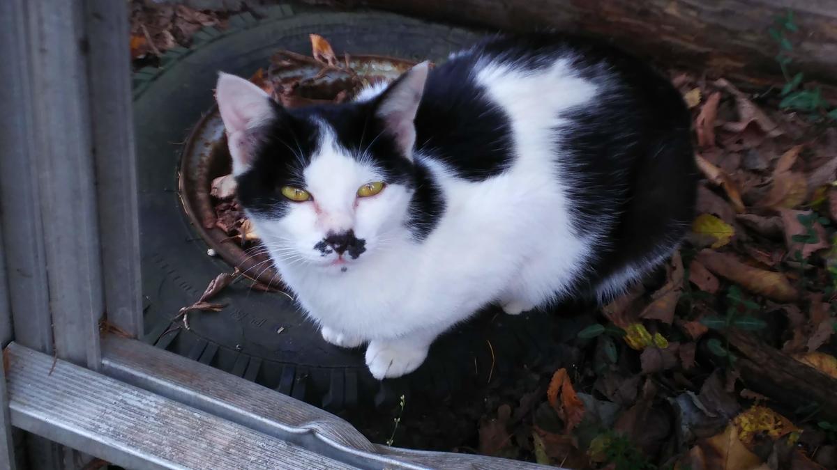 白黒猫 富士型 メス