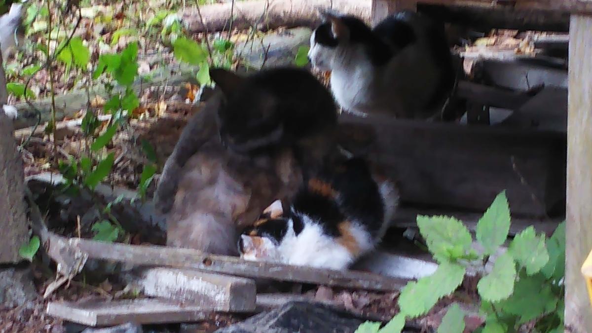 灰サビ猫 子育て 別の子を育てる