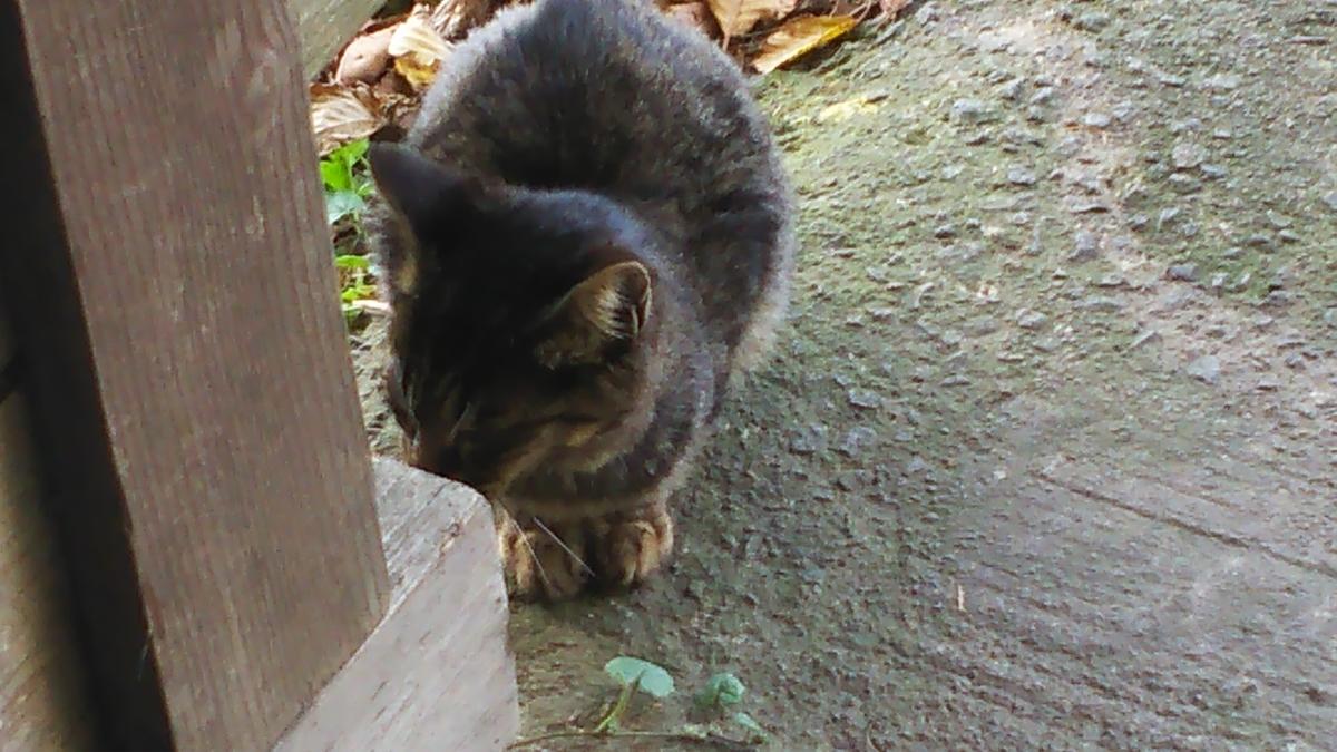 キジトラ 子猫 謎