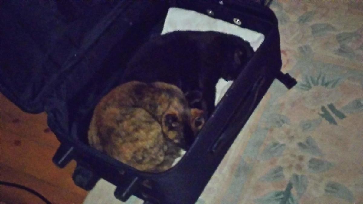 猫 スーツケースの中 寝る