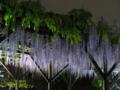 [2012亀戸天神 藤祭り]