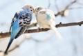 [小鳥][鳥][インコ][鳥 青][キス][style ラブ] 小鳥ちゅー。