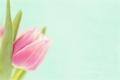 [style 花][チューリップ][花] チューリップ