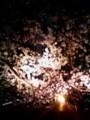 日蓮宗常泉院の夜桜