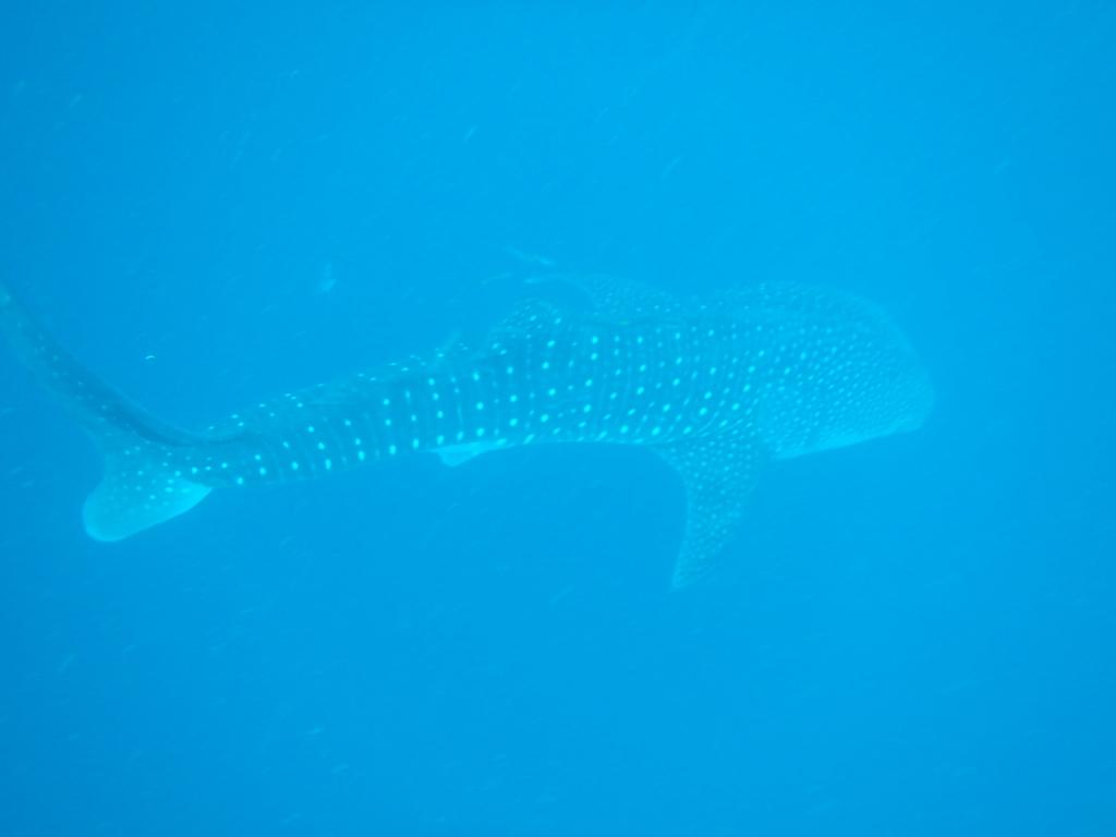 パラワン島ジンベイザメ発見