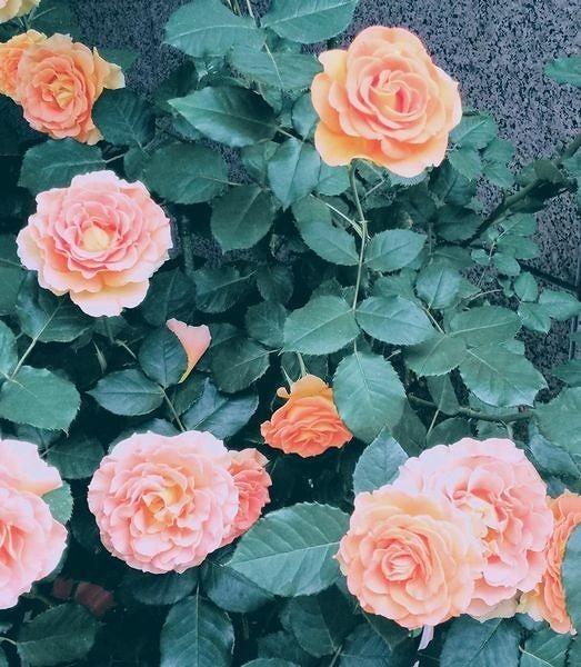 薄いオレンジ色のバラ