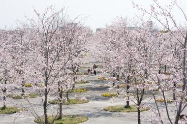 Sakura_park