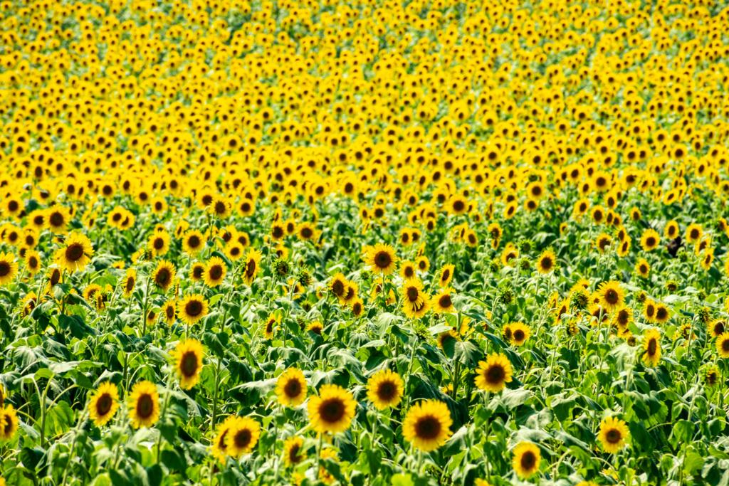 観光農園花ひろばのひまわり畑