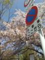 桜かわいいなぁ