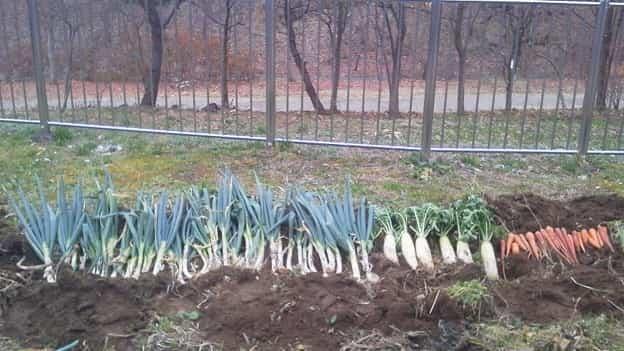 疑似家庭菜園