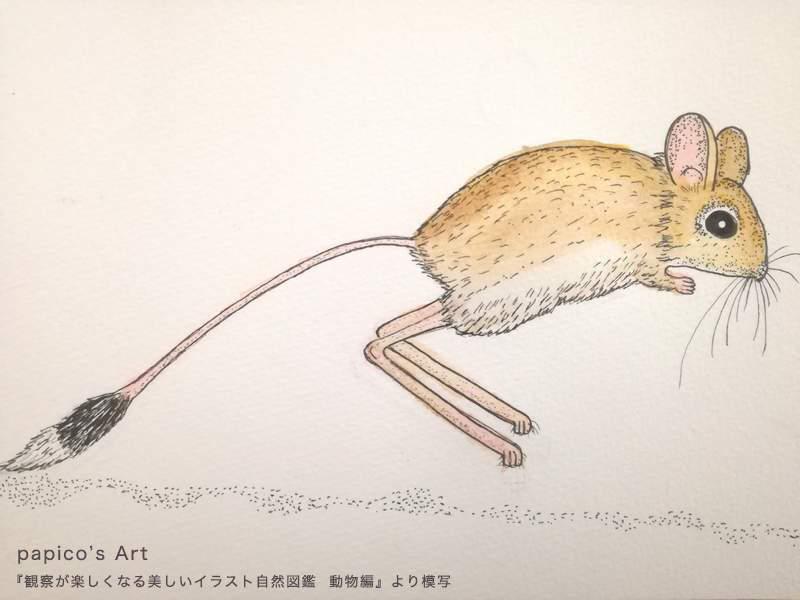 ヒメミユビトビネズミ 『観察が楽しくなる美しいイラスト自然図鑑』動物編より