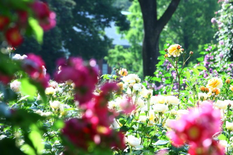 港の見える丘公園のイングリッシュローズガーデンのバラ