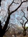 [新宿御苑]新宿御苑|千駄ヶ谷門近くの桜並木