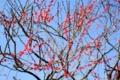 20220222 新宿御苑の梅の花 レンズ:ウルトロン40mm f2 開放で撮影
