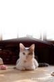 [猫][ネコ][マンチカン][cat][ペット]お気に入りのクマのおもちゃ