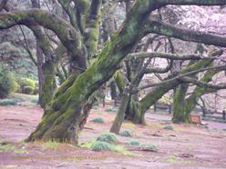 さくらの樹幹.jpg